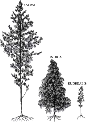 Sativa vs. Indica Diagram